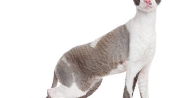 gato cornish rex