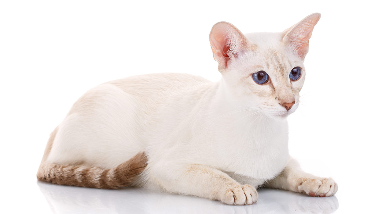 Colorpoint Shorthair gato